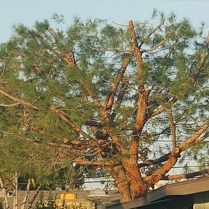 Tree Trimmed by Environmental Green Tree Care
